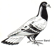 Carrier_Pigeon_(PSF)