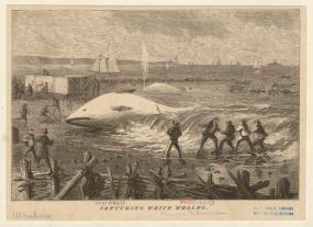 white whale.jpg